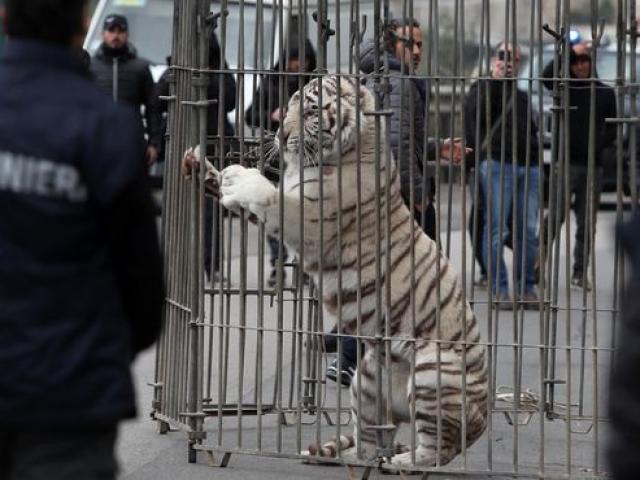 Cả thành phố Ý hỗn loạn khi hổ Siberia sổng chuồng ra phố