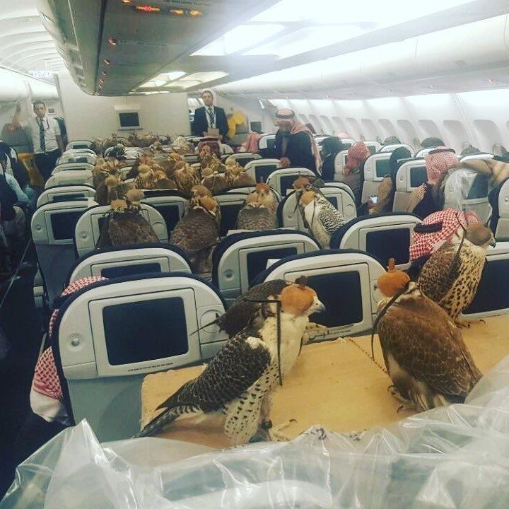 80 con chim ưng trên khoang máy bay thương mại ở Saudi Arabia.