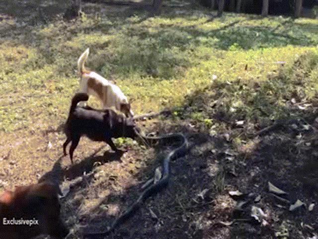 Chó sói khổ sở chống đỡ chó nhà trong trận chiến sinh tử - 4