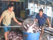 Thị trường - Tiêu dùng - Giá cá tra tăng sau Tết, người nuôi không còn để bán