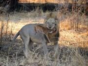 Thế giới - Sư tử ngoạm cổ nai con sau 30 phút làm bạn