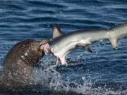 Thế giới - Sư tử biển 3 tạ cắn đứt đầu cá mập, ăn tươi nuốt sống