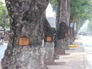 Tin Hà Nội - HN: Hàng loạt cây xà cừ cổ thụ bị đẽo vỏ nham nhở