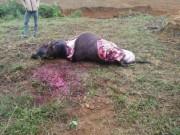 Hòa Bình: Trâu sắp đẻ bị trộm xẻ thịt lấy 4 chân