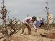 Thị trường - Tiêu dùng - Chưa đến Rằm, nông dân đã tất bật trồng lại đào