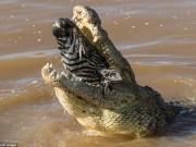 """Thế giới - Ngựa vằn nằm trong bụng cá sấu, đầu """"ngắc ngoải"""" thò ra"""