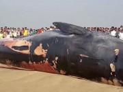 Thế giới - Video: Xác cá voi khổng lồ trôi dạt vào bờ biển Ấn Độ