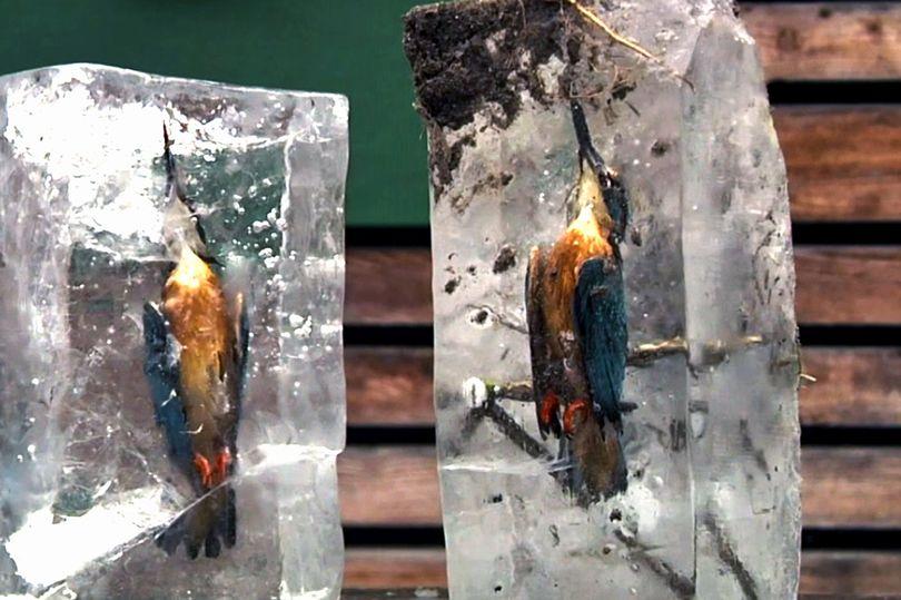 Lao xuống hồ lạnh cóng, chim bói cá đông cứng trong băng - 1