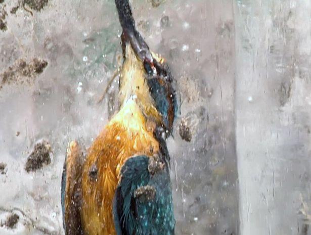 Lao xuống hồ lạnh cóng, chim bói cá đông cứng trong băng - 3
