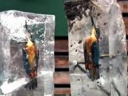 Lao xuống hồ lạnh cóng, chim bói cá đông cứng trong băng