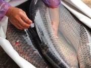 Sức khỏe đời sống - Những lầm tưởng về mật cá trắm có thể khiến trả giá bằng tính mạng