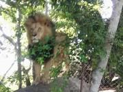 Thế giới - Sư tử châu Phi lao ra từ bụi rậm, vồ người đang chụp ảnh