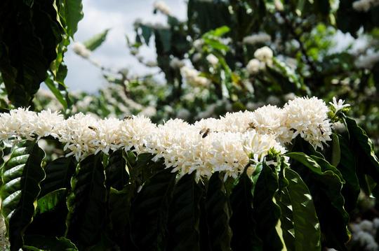 Đẹp ngỡ ngàng mùa hoa cà phê ở Tây Nguyên - 3