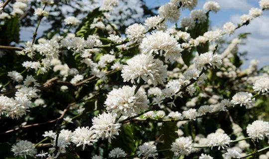Đẹp ngỡ ngàng mùa hoa cà phê ở Tây Nguyên - ảnh 4