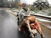 Tin tức trong ngày - Nhiệt độ dưới 4 độ C, trâu bò ở Lào Cai chết hàng loạt
