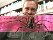 Phi thường - kỳ quặc - Phát hiện nhện quái vật dài gần gang tay ở Australia