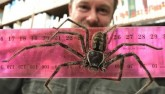 Phát hiện nhện quái vật dài gần gang tay ở Australia