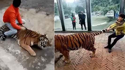 Rợn người xem thanh niên kéo đuôi, cưỡi lưng hổ