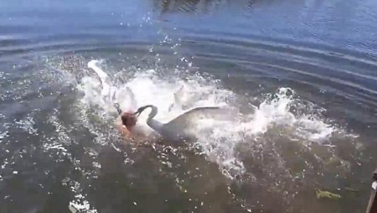 2 thiên nga phối hợp tấn công dữ dội người bơi dưới hồ
