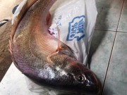 Tin tức trong ngày - Cần thủ Sài Gòn câu được cá sủ vàng quý hiếm