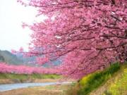 Du lịch - Đã mắt ngắm hoa anh đào nở sớm ở Nhật Bản
