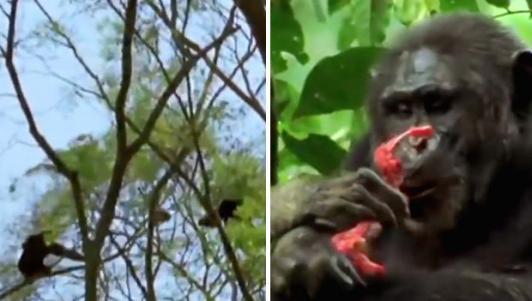 Băng nhóm tinh tinh săn lùng, xé xác khỉ rồi ăn sống