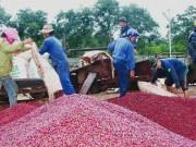 Thị trường - Tiêu dùng - Vì sao 'vương quốc' cà phê Braxin mua cà phê Việt?