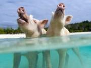 """Những chú heo nổi tiếng ở thiên đường Bahamas đột ngột  """" qua đời """""""