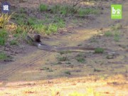 Cầy liều mạng đánh đuổi rắn khổng lồ độc nhất châu Phi