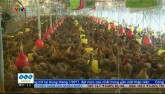 Giá gà giảm kỷ lục, người chăn nuôi lao đao