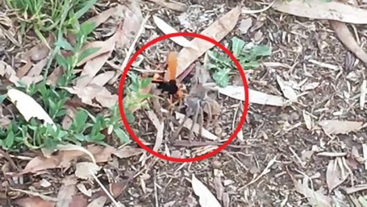 Ong khổng lồ kéo xềnh xệch nhện thợ săn về ăn thịt