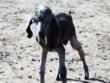 Phi thường - kỳ quặc - Con vật nửa cừu nửa dê cực hiếm ra đời ở Thổ Nhĩ Kỳ