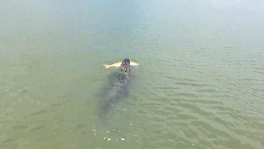 Cá sấu khổng lồ trắng trợn cướp cá của người câu
