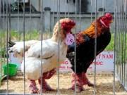 Vì sao gà Đông Tảo quý hiếm bỗng lăn ra chết hàng loạt?
