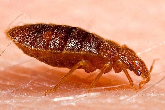 Mối nguy hại khôn lường từ rệp giường và cách tống khứ chúng nhanh nhất - 2