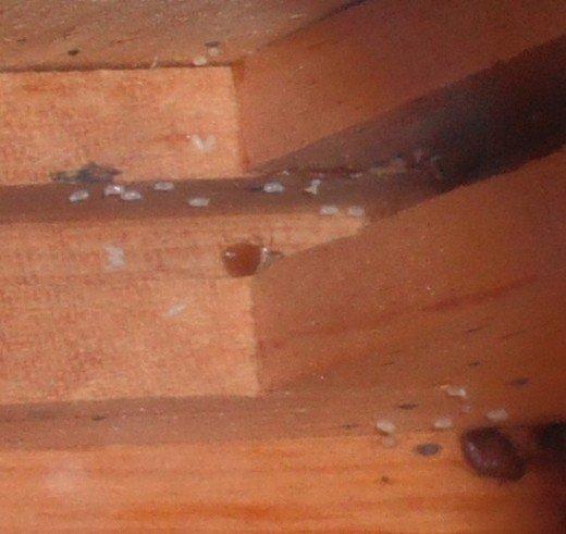 Mối nguy hại khôn lường từ rệp giường và cách tống khứ chúng nhanh nhất - 4