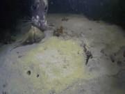 Thế giới - Bạch tuộc săn đuổi cua biển, không ngờ mình là mồi