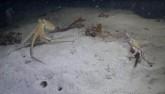 Bạch tuộc săn đuổi cua biển, không ngờ mình là mồi
