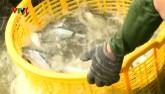 Bản tin tài chính kinh doanh 28/2: Cá tra giống khan hiếm, giá tăng gấp 3 lần