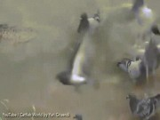Thế giới - Video: Cá trê sát thủ dài 2,5m ẩn mình nuốt trọn bồ câu