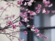 Tin tức trong ngày - Hơn 7.000 cành hoa anh đào sắp khoe sắc ở Hà Nội
