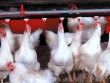Gà rẻ hơn rau, gà thịt chỉ còn 15.000 đồng/kg