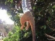 Thế giới - Úc: Trăn treo mình lủng lẳng, nuốt nửa người thú có túi
