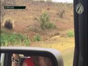 """Thế giới - Video: Báo đốm săn nhím, bị con mồi đuổi chạy """"thục mạng"""""""