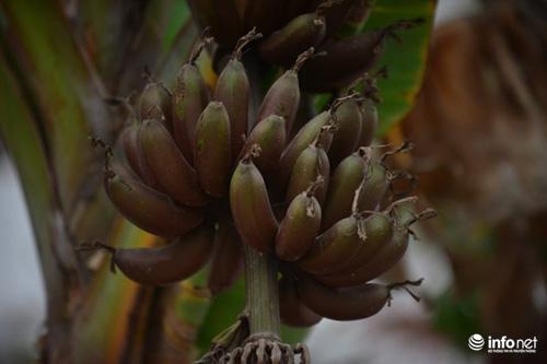"""Chiêm ngưỡng cây chuối ra quả màu tím """"độc nhất vô nhị"""" ở Hà Nội - 4"""