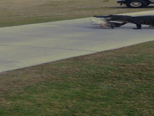 Video: Cá sấu khổng lồ huyền thoại nghênh ngang quanh sân golf - 4
