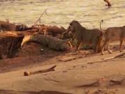 Thế giới - Cá sấu nhẫn nhục cho sư tử liên tục đập vào mồm