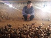 Thị trường - Tiêu dùng - Người nuôi gà điêu đứng vì H7N9: Gà Yên Thế thất thủ