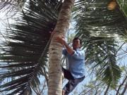 Tin tức trong ngày - Vắt vẻo mưu sinh trên... ngọn dừa