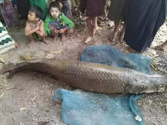 """Úc: Đi câu cá 3kg, bắt được """"quái vật"""" khổng lồ 70kg - 3"""